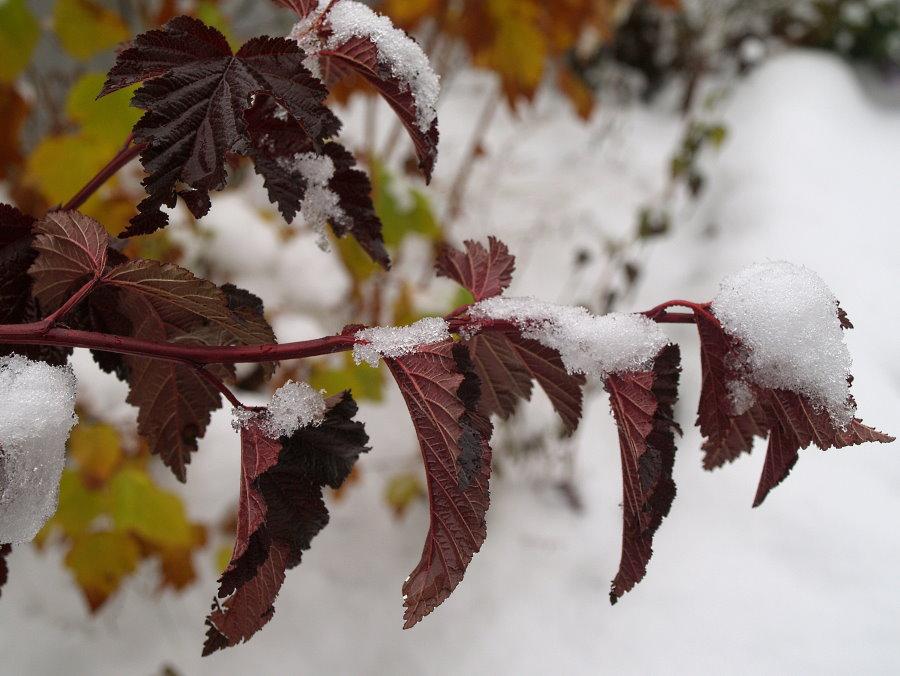 Ветка садового пузыреплодника с листьями в снегу