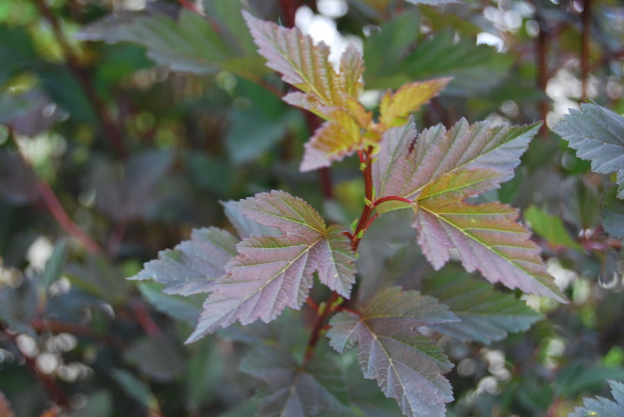 Зеленовато-бардовые листья на ветках пузыреплодника