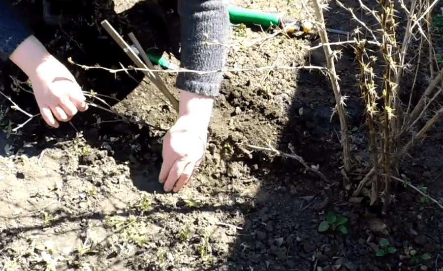 Пригибание ветки барбариса к земле для укоренения