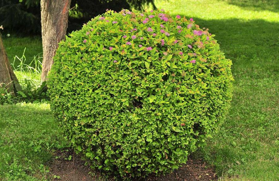 Шаровидная форма куста садовой спиреи