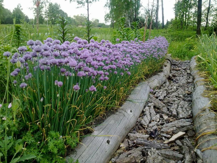 Грядка с шнитт-луком на загородном участке