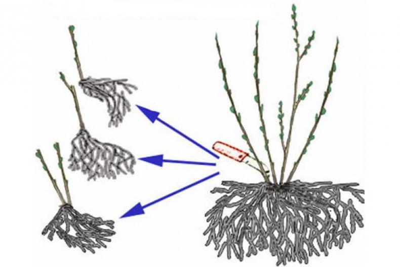 Схема деления куста барбариса осенью