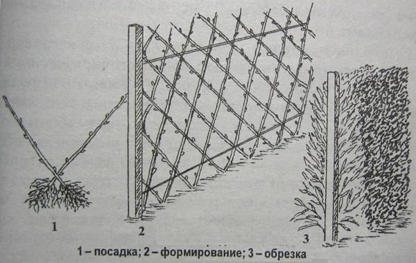 Схема формирования зеленой стенки из живых ивовых прутьев