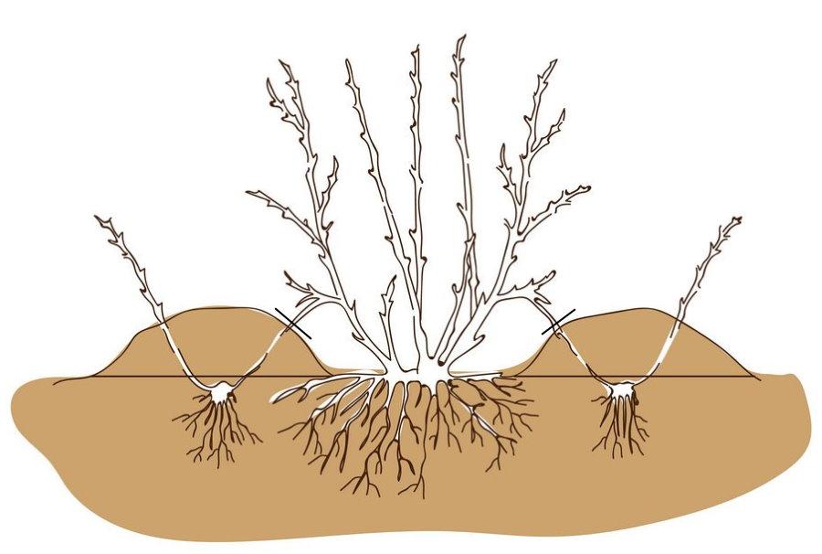 Схема размножения садового пузыреплодника отводками