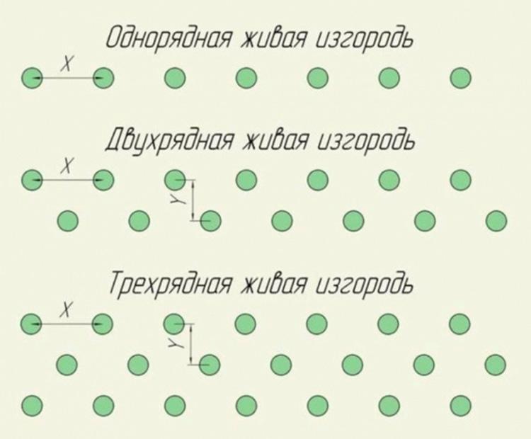 Схема высадки саженцев барбариса в живую изгородь
