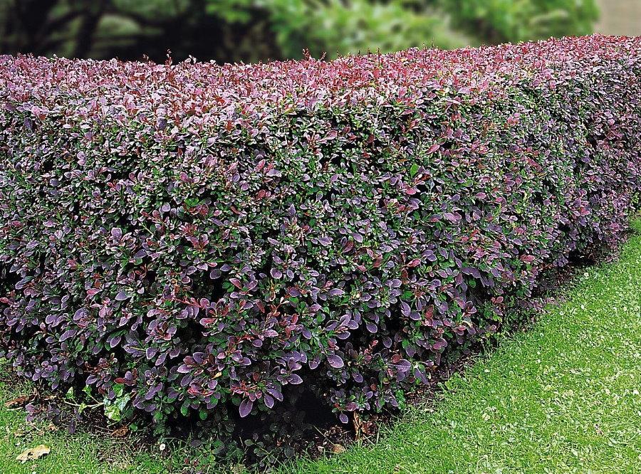 Живая стенка из барбариса с пестрой окраской листьев