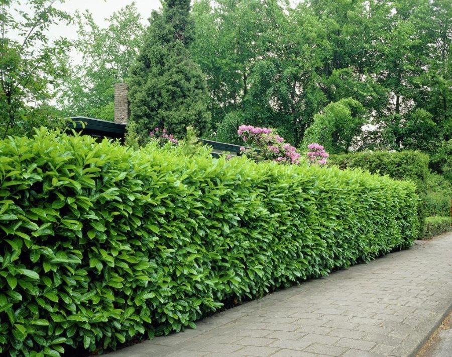 Вечнозеленая быстрорастущая изгородь вдоль границы участка