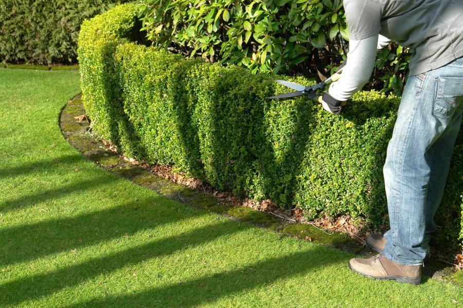 Формирующая стрижка вечнозеленого бордюра в саду