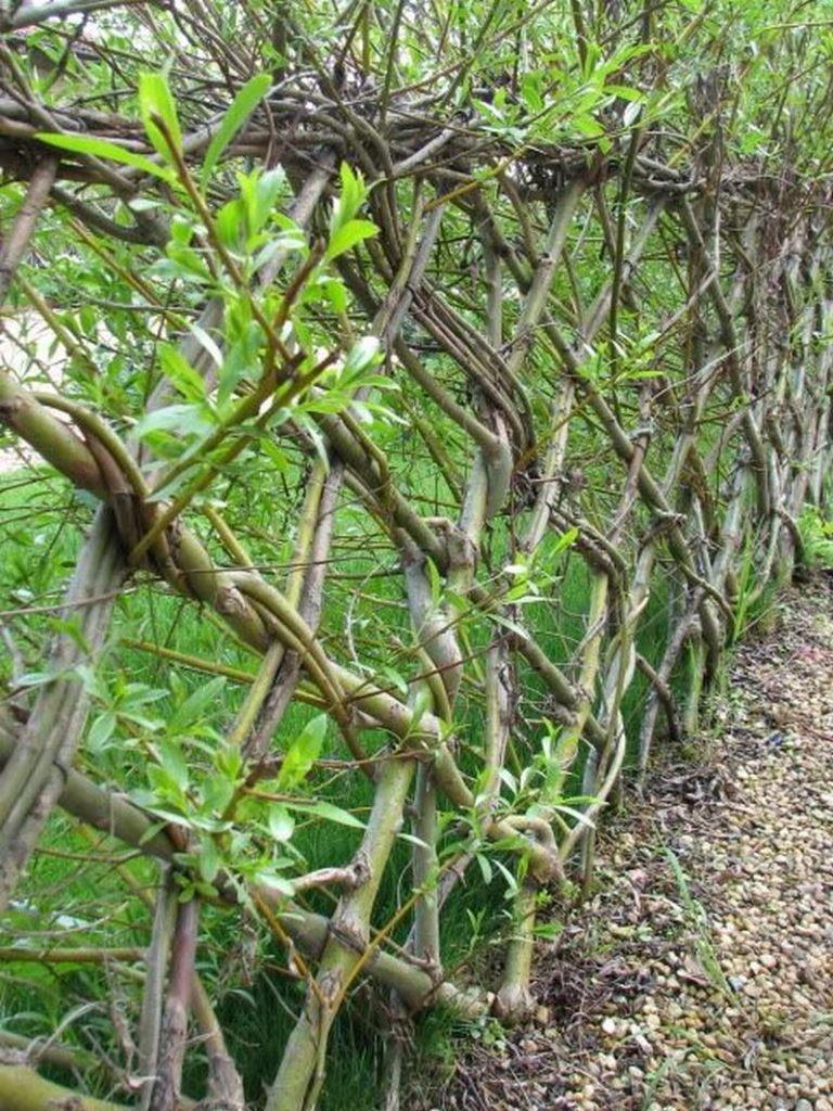 Толстые одеревеневшие ветки в живой изгороди из ивы