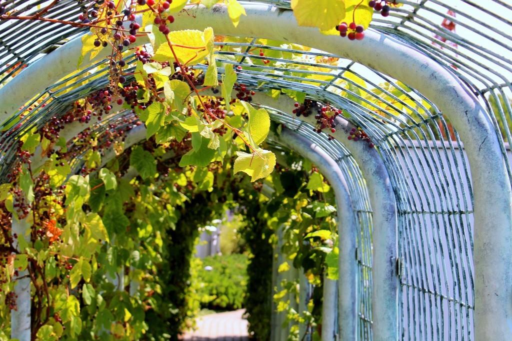 Арка из толстых труб для гибридного винограда