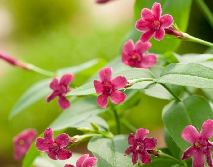 Цветение жасмина сорта Биса в природных условиях