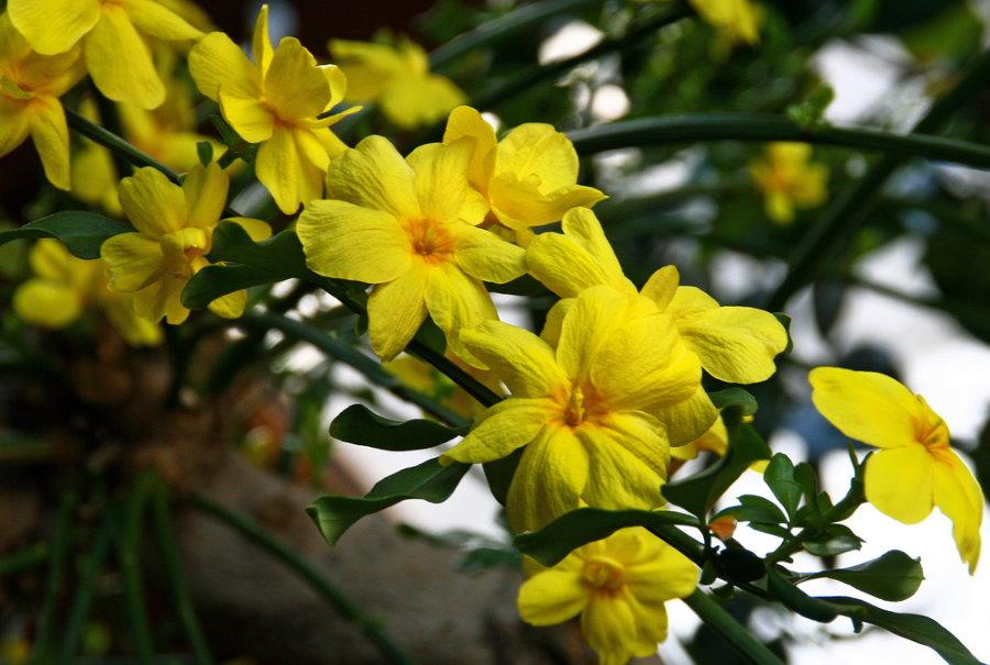 Желтые цветки на стеблях жасмина голоцветкового
