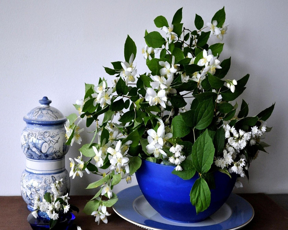Белые цветки на комнатном жасмине в синем горшке