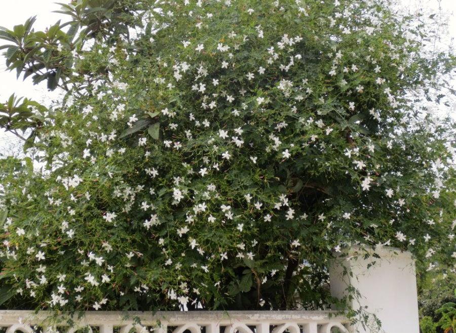 Куст жасмина с белыми цветками возле старой ограды