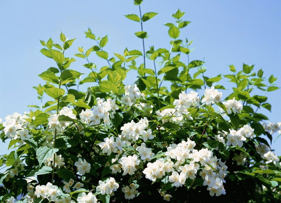 Красивые цветки на жасмине лекарственном
