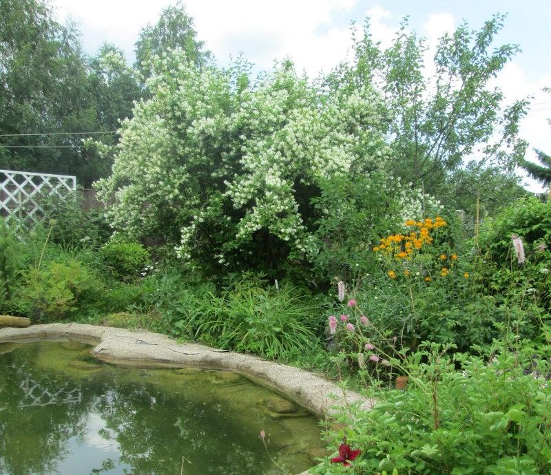 Жасмин в ландшафтном дизайне садового участка