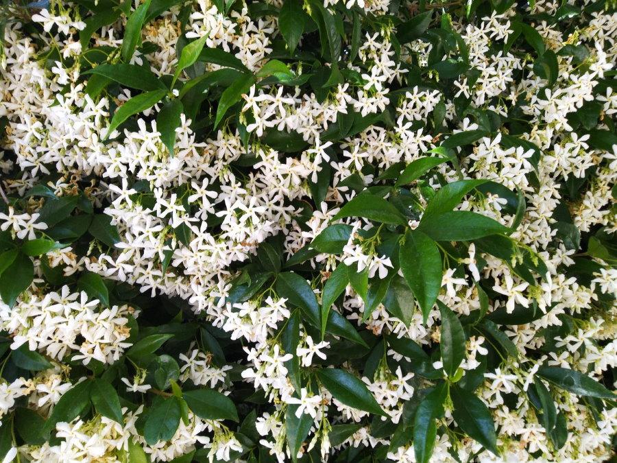Обильное цветение куста жасмина в южных регионах