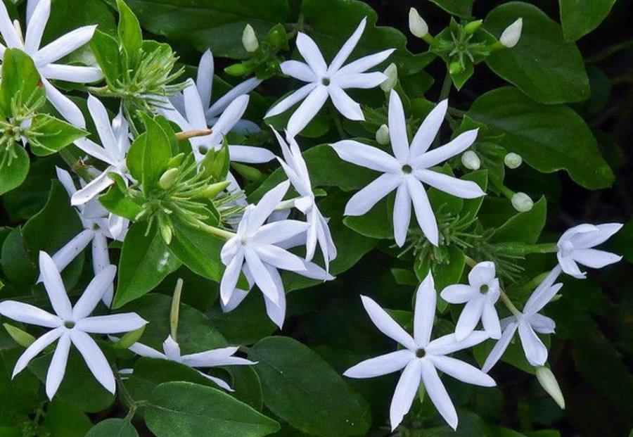 Цветки тончайшего жасмина с остроконечными лепестками