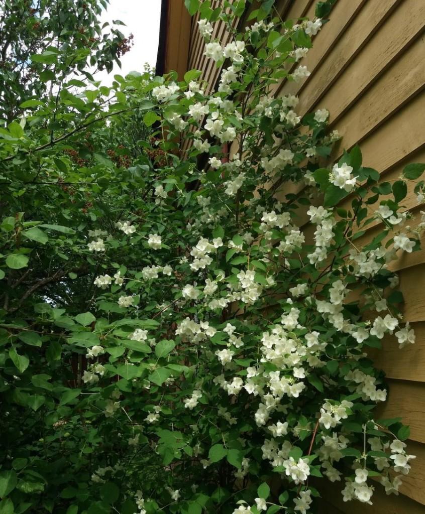 Цветущий куст садового жасмина у стены дома