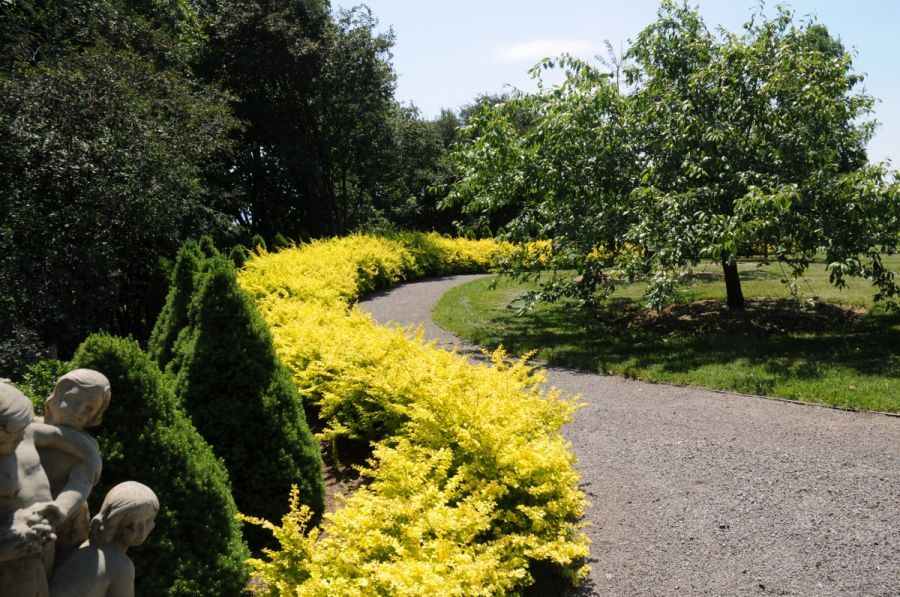 Желтый барбарис в ландшафте сада