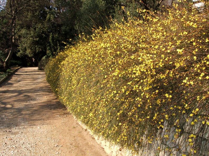 Живая изгородь из голоцветкового жасмина в ландшафтном дизайне