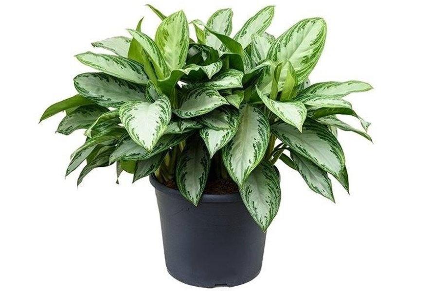 Пестрая окраска листьев аглаонеомы для ванной комнаты