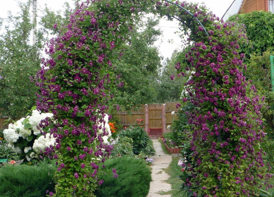 Металлическая арка с клематисами в период цветения