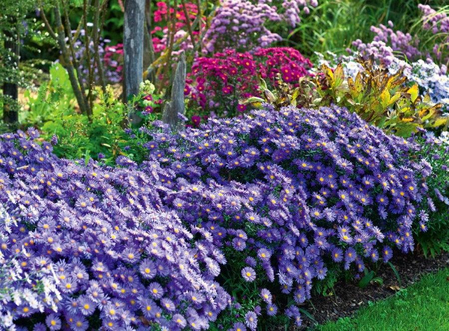 Астра кустарниковая сорта Lady in Blue на садовом участке