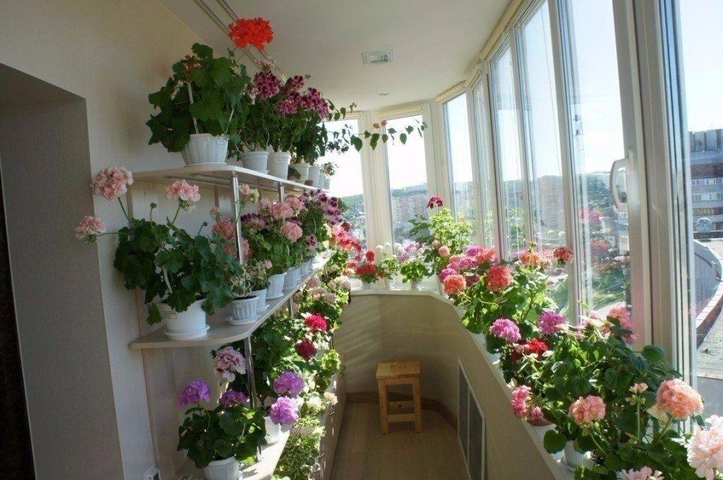 Розы в горшках на подоконнике теплого балкона