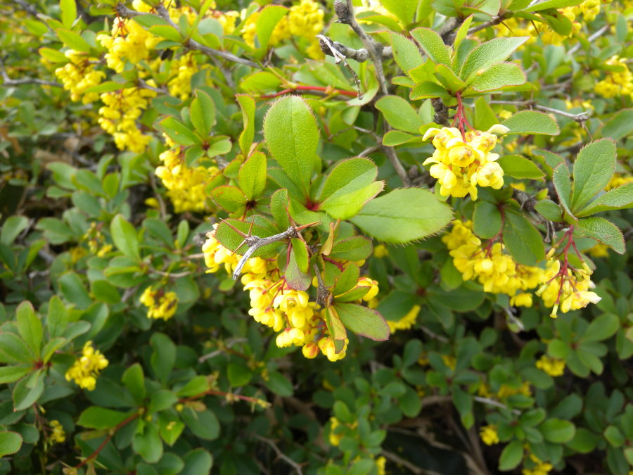 Цветение барбариса амурского на дачном участке