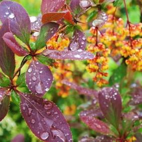 Капли воды на листьях гибридного барбариса
