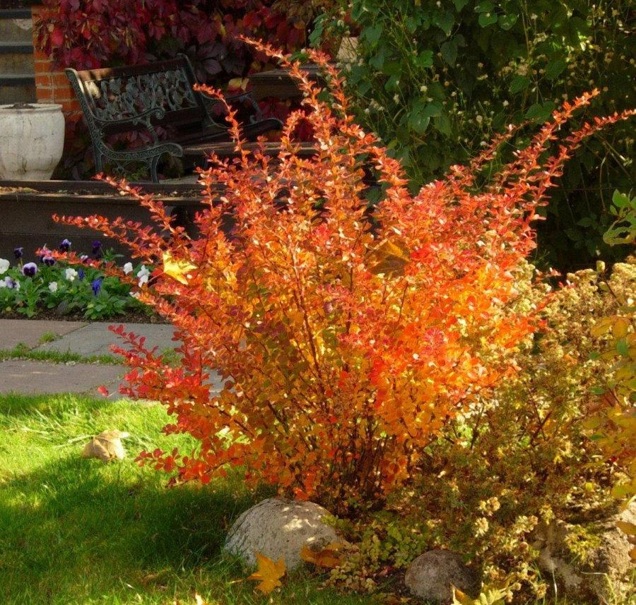 Осенняя окраска листьев на садовом барбарисе