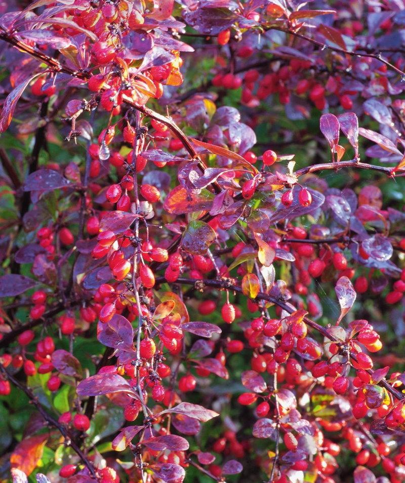 Ветки барбариса с ягодами после осеннего дождя