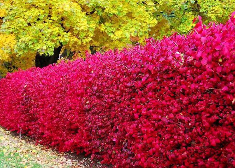 Красно-пурпурные листья на барбарисе в осенний период