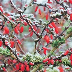 Красные ягоды барбариса поздней осенью