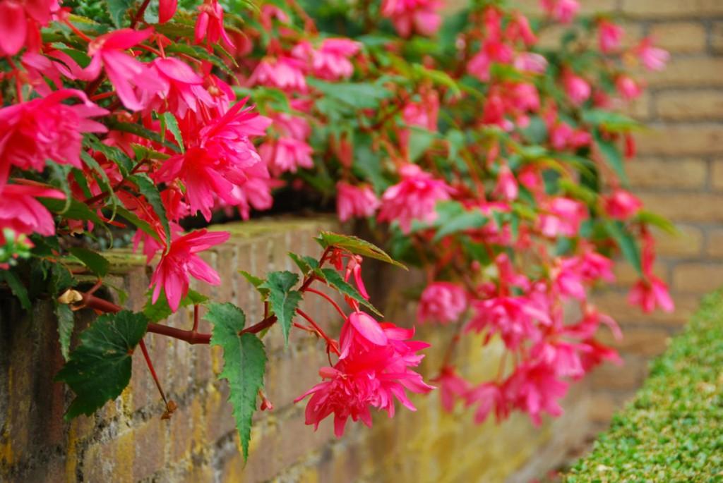 Фигурные цветки на стеблях ампельной бегонии