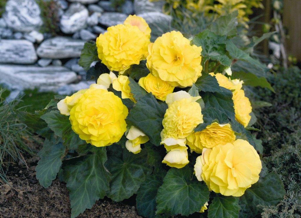 Крупные желтые цветки на бегонии клубневой