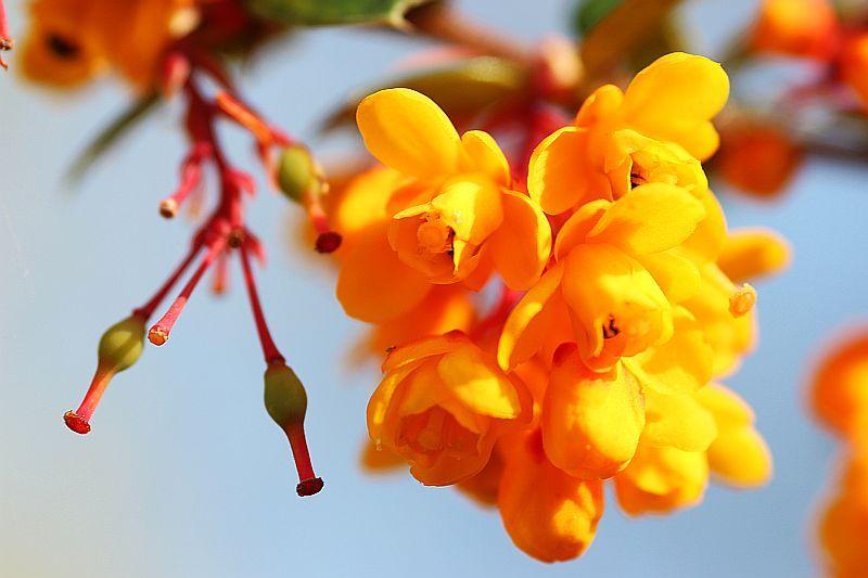 Желтые цветки на стеблях барбариса