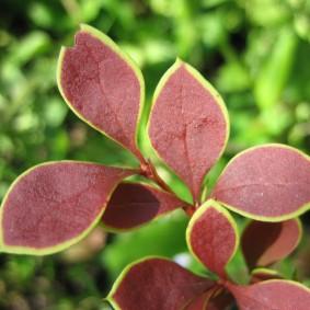 Листья барбариса с желтой окантовкой