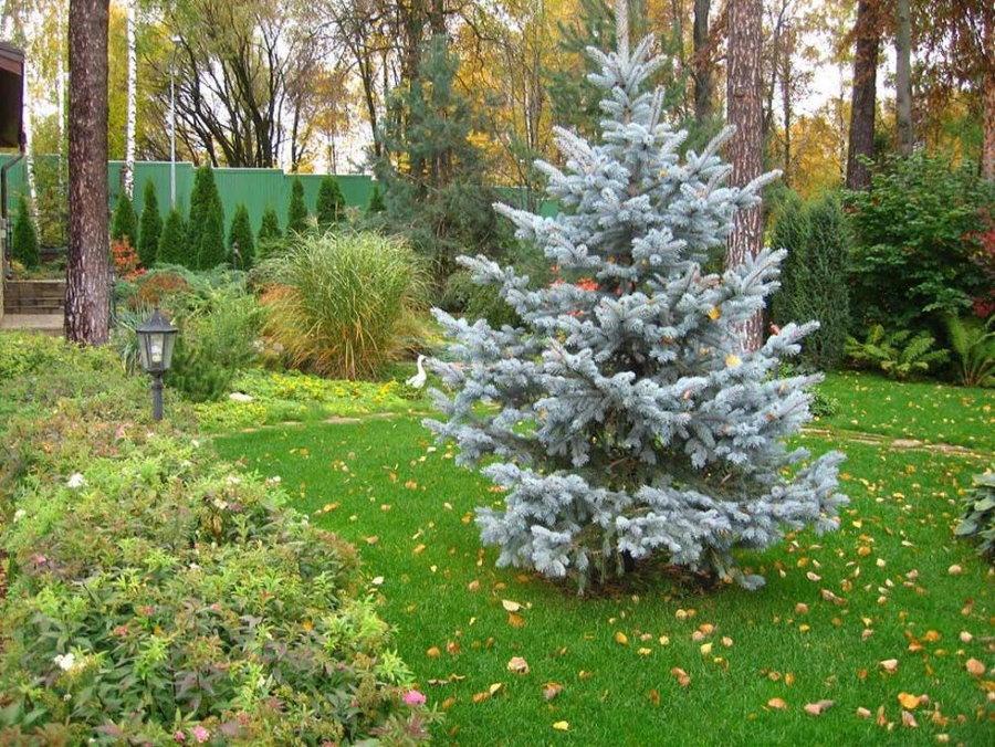 Ель голубая в ландшафте садового участка