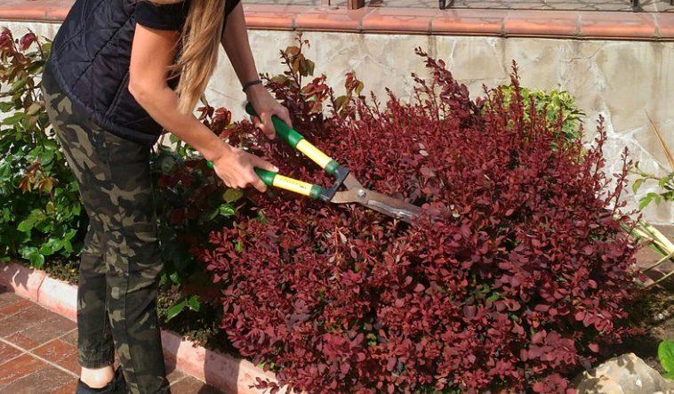 Обрезка куста барбариса садовыми ножницами
