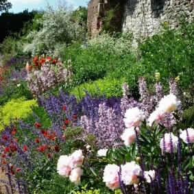 Куст пиона с бело-розовыми цветами
