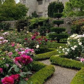 Многолетние розы с пышными бутонами