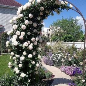 Белые розы гибридного сорта на арке