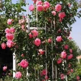 Длинные плети роз с яркими цветками