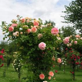 Плетистая роза с кремовыми цветками