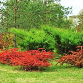 Красный барбарис на фоне вечнозеленых можжевельников