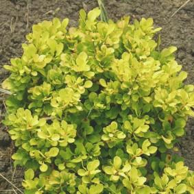 Компактный кустик садового барбариса