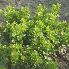 Зеленая окраска листьев на кусту барбариса