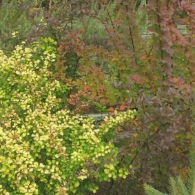 Длинные ветки барбариса с бардовыми листьями
